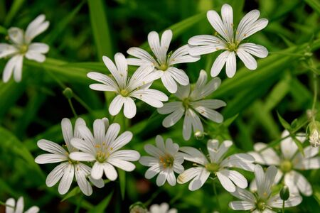 Texture of little white spring flowers of asterisk on a green background. Standard-Bild - 139711793
