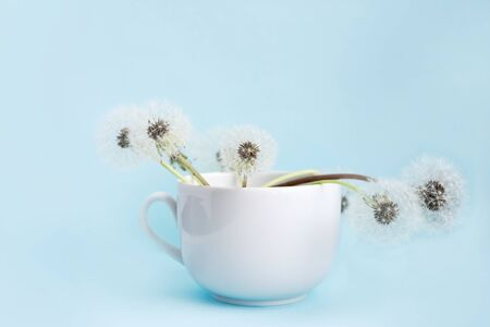 Blooming fluffy white dandelions in a cup on a blue background. Standard-Bild - 139753442