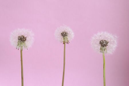 Three blooming fluffy white dandelions on a pink Standard-Bild - 139753453