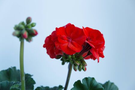 Two branches with red geranium inflorescences isolated on a light. Stock Photo