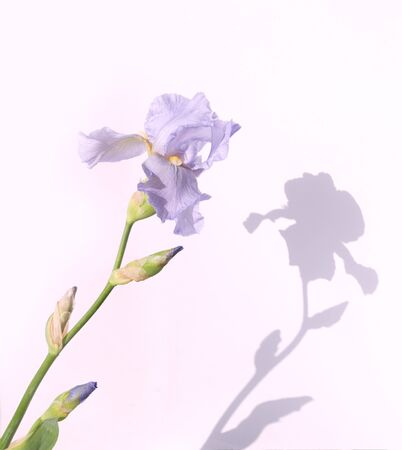 Beautiful lilac iris flower isolated on a white background. Standard-Bild - 139755268