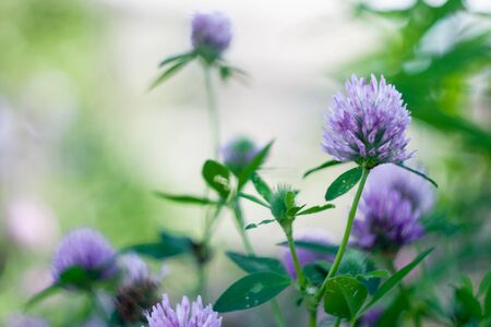 Texture of grass and purple flowers of clover.