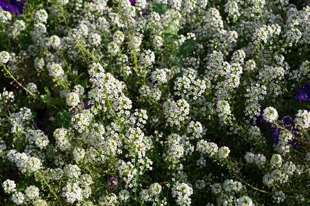 Many small inflorescences of white flowers in the flowerbed. Stok Fotoğraf