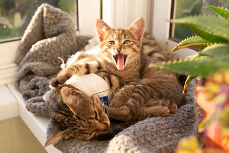 Tabby kitten lies next to the mother cat after surgery and and yawns