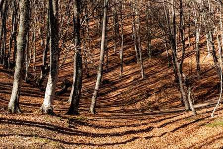 Autumn landscape in a beech forest in the mountains in the rays of the setting sun. Standard-Bild
