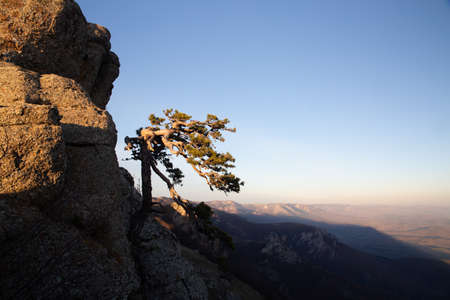 Lonely pine tree on a mountain slope.