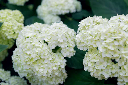 White hydrangea flowers close-up on green background.