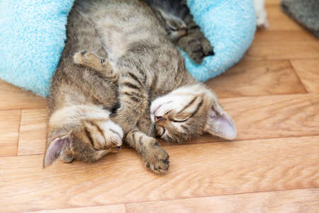 Two shorthaired tabby kittens sleep in a blue soft house.