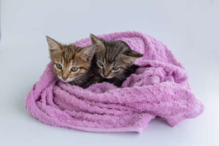 Three wet kittens after bathing are wrapped in a pink towel. Standard-Bild