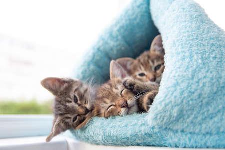 Three shorthaired tabby kittens sleep in a blue soft house. Standard-Bild