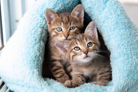 Two tabby kittens peek out of a soft blue house.