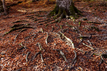 The huge roots of an old tree are making their way through the fallen autumn foliage Standard-Bild