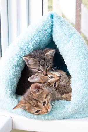Three shorthaired tabby kittens sleep in a blue soft house
