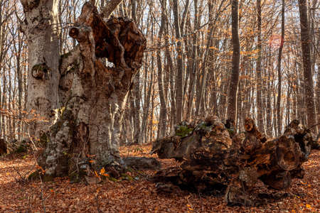 Big hollow in an old beech tree in the autumn forest