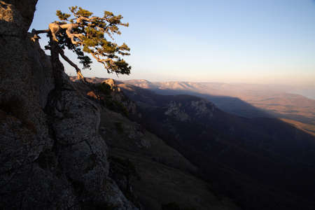 Lonely pine tree on a mountain slope