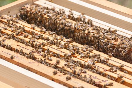 Close-up of kind-natured worker bees on the top of wooden frames in the beehive's brood chamber. Inspection of a hive with carniolan honey bees in a small apiary in Trento, Italy on a warm sunny day Stock fotó