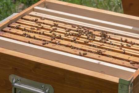 Close-up of kind-natured worker bees on the top of wooden frames in the beehive's brood chamber. Inspection of a hive with Carniolan honey bees in a small apiary in Trento, Italy on a warm sunny day