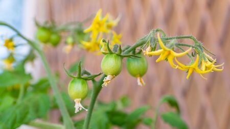 Yellow flowers of a healthy organic heirloom open pollinated tomato plant Red Alert variety blooming on a sunny day outdoors. Urban container gardening on a balcony in Trento city, Italy, Europe.