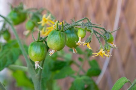 Healthy organic heirloom open pollinated tomato plant Red Alert variety growing in a pot on balcony on a sunny day. Small green fruits ripening outdoors. Urban gardening in Trento city, Italy, Europe. Banco de Imagens