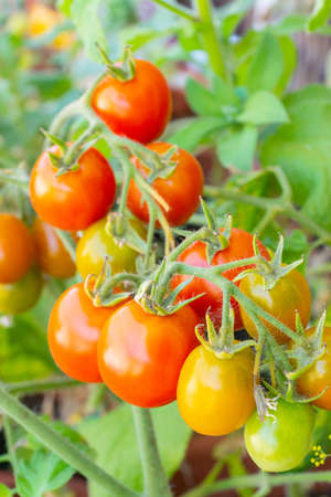 Healthy organic heirloom open pollinated tomato plant Red Alert variety growing in a pot on balcony on a sunny day. Delicious red fruits ripening outdoors. Urban gardening in Trento, Italy, Europe. Banco de Imagens