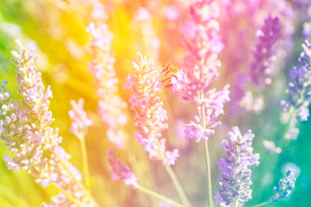 Floral rainbow toned background with sun glares and light leaks. Bumble bee on a blooming lavender field, summer spring botanical design. Romantic feminine style. Retro film photography atmosphere.