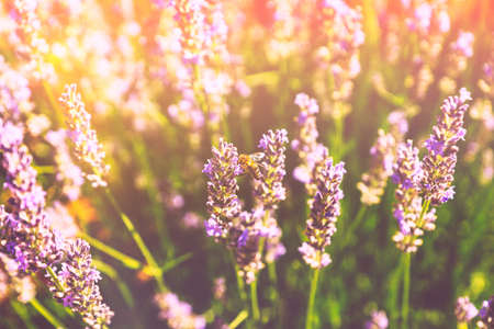 Floral warm toned background with sun glares and light leaks. Honey bee on a blooming lavender field, summer spring botanical design. Romantic feminine style. Retro film photography atmosphere.