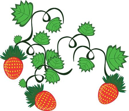 Curl z truskawek jagody na tle izolowane Ilustracje wektorowe