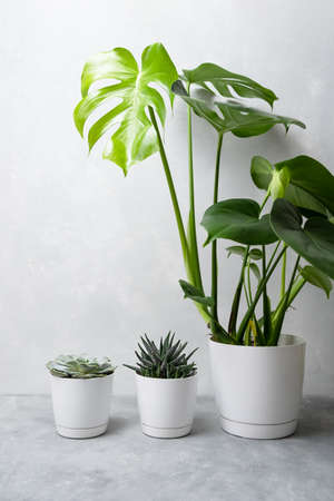 Indoor plants: succulents, echeveria, haworthia and monstera in white pots on a gray background. Stock Photo