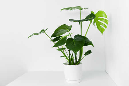 A beautiful monstera flower in a modern pot stands on a table against a white wall. The concept of minimalism. Stock Photo