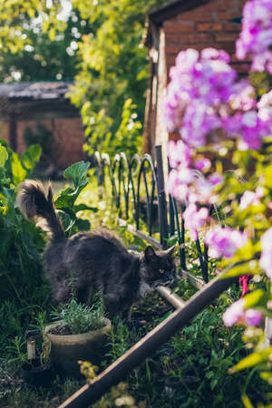 Summer background with a grey cat walking in the garden and flowers Archivio Fotografico