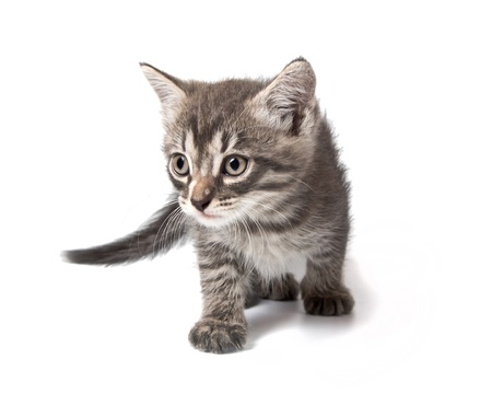 Little cute grey kitten sneaksisolated on the white background