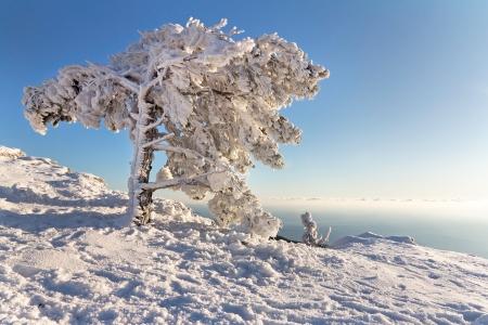 Frozen pine on Ai-Petri mountain