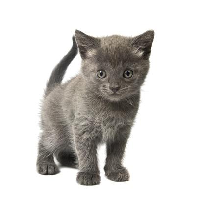 Little gray kitten isolated on white background Stock Photo