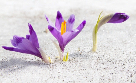 First spring crocuses growing through the snow