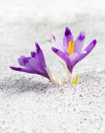 First blossom crocuses in the melting snow