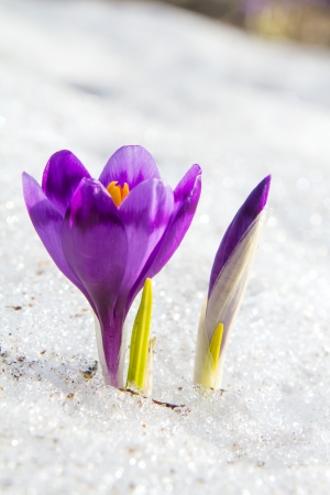 Blossom crocus and bud in the snow