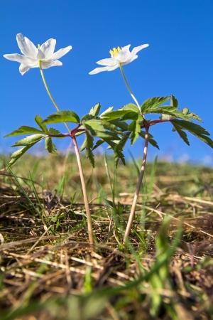 Anemone nemorosa - flor da mola contra o céu