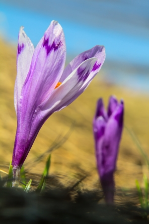 Two crocuses against the sky, selective focus Imagens