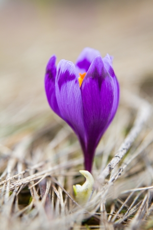 The single crocus on the grass, selective focus Stock Photo