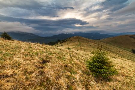 Pequenos pinheiros estão esperando a chuva na montanha Carpathian Imagens