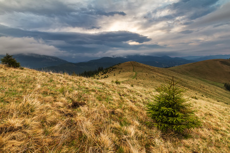 Small pines are waiting the rain in the Carpathian mountain