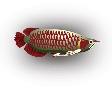 egglayer: Asian arowana, Animal of charm. Illustration