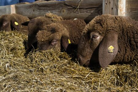 sheep and lamb eat hay on a farm