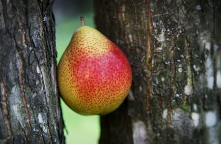 2 つの木の幹の間梨
