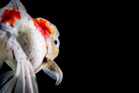 Beautiful macro shot of my dear Oranda Goldfish, Santa
