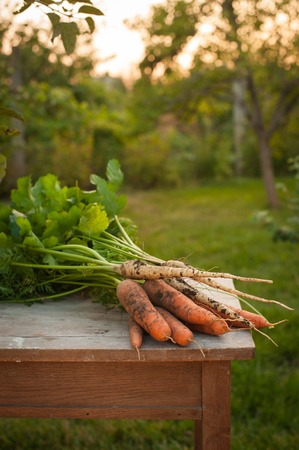 Carrots and parsnips, first spring summer crop. Healthy food, gardening. Carrots and parsnips on a wooden table in the garden
