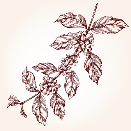 Coffee tree branch freehand drawing in sketch style. Coffee plant concept, branch with leaf and bean in vintage style. Vector illustration