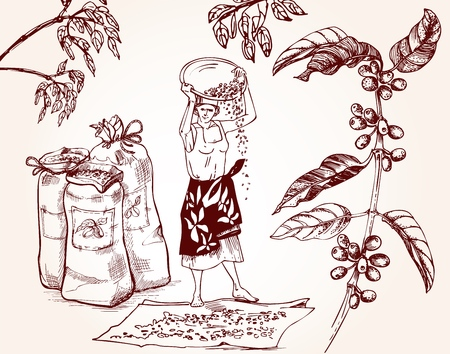 Coffee harvesting. Woman performs the drying of coffee beans. Vintage illustration of coffee making process. Vector illustration art.