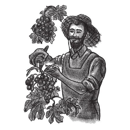 grape harvest. winemaker hands pick grapes. vector vintage illustration in engraving style