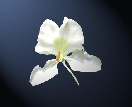Jengibre blanco. Flor Mariposa sobre fondo azul oscuro Foto de archivo